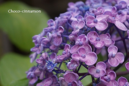 オタフク紫陽花.JPG