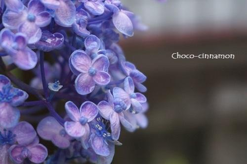 オタフク紫陽花A.JPG