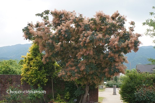 スモークツリーの木.JPG