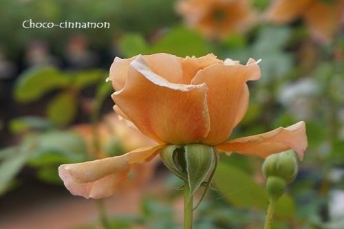 バラの花.JPG