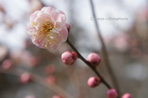 八重ピンクの梅.JPG