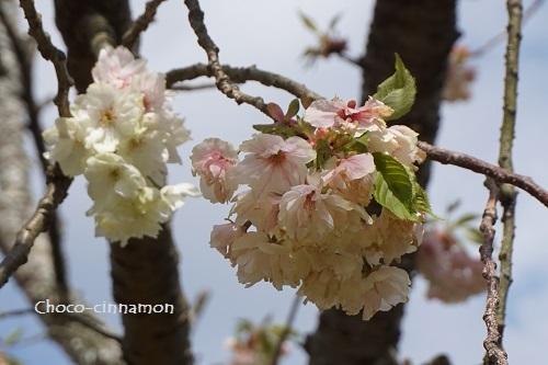 御衣黄桜B.JPG