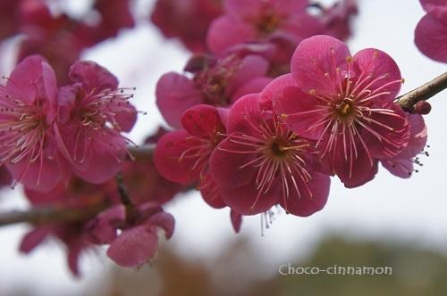 濃いピンクの梅.JPG