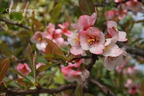 花梨の花.JPG