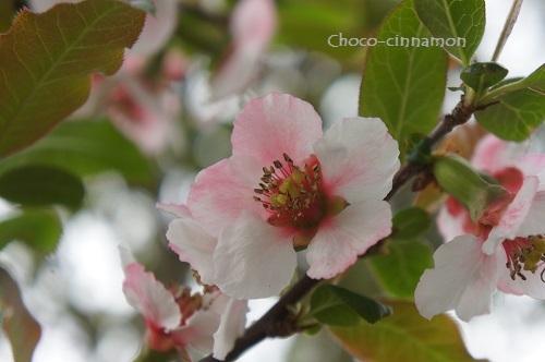花梨の花B.JPG