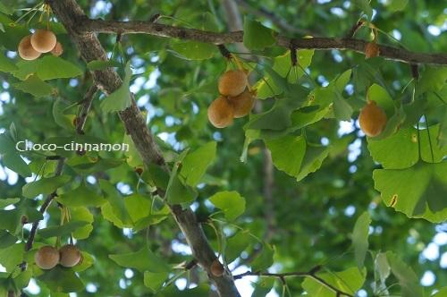 銀杏の木と実.JPG