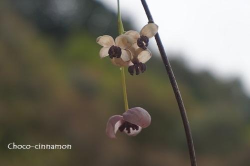 アケビの花B.JPG