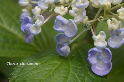 オタフク紫陽花B.JPG