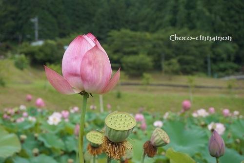 ピンク色のハス.JPG