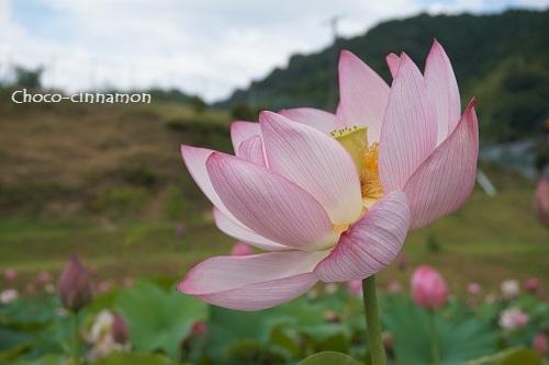 ピンク色のハスA.JPG
