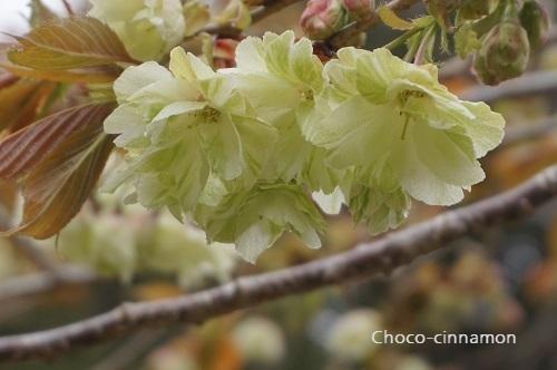 御衣黄桜A.JPG