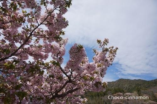 横輪桜.JPG