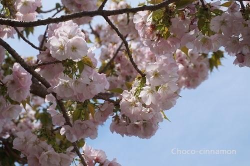 横輪桜A.JPG