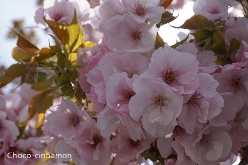 横輪桜B.JPG