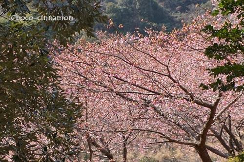 河津桜C.JPG