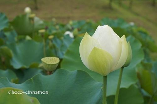 白色のハス.JPG