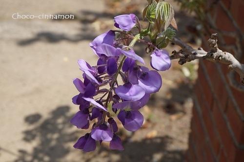 藤の花B.JPG