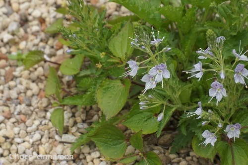 高山植物C.JPG